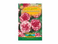 Begonia MARMORATA žlutá Gardenia 2ks