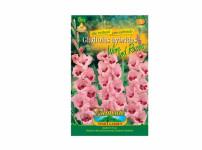 Gladiolus WINE/ROSES