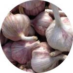 Česnek sadb. - Germidour nepaličák fialový (50-60 mm) /cena bez slev/ - 10 kg