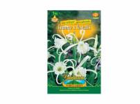 Hymenocallis festalis, ismene – Gardenia